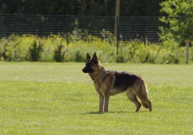 German Shepherds Dogs