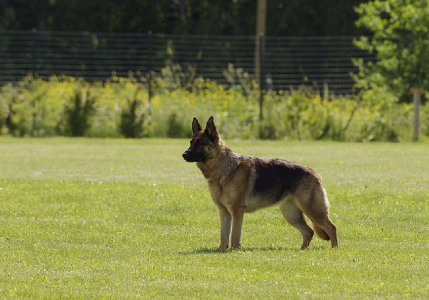 German Shepherd Dog - A little More About Breed