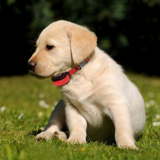 How Should You Fit Dog Shock Collars?