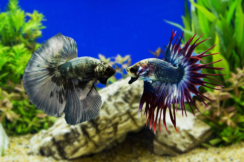 What Species would be the Best Betta Tank Mates?