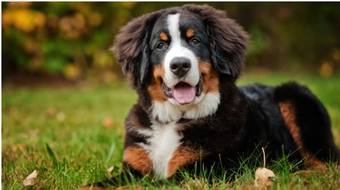 Things You Need To Consider Before Buying A Bernese Mountain Dog