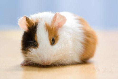 guinea pig names