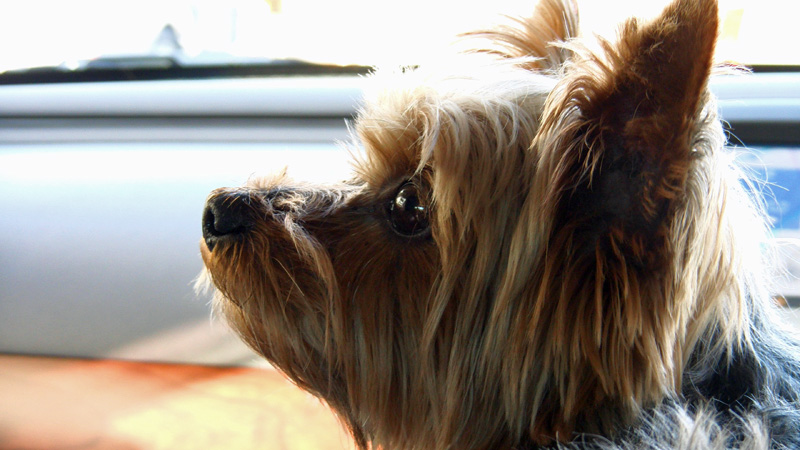 An Owner's Guide For Yorkshire Terriers