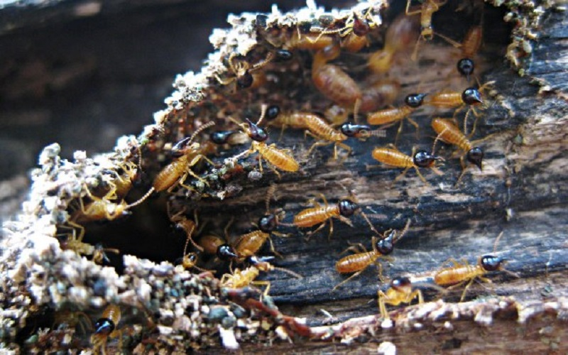The Benefit of Termites For Human