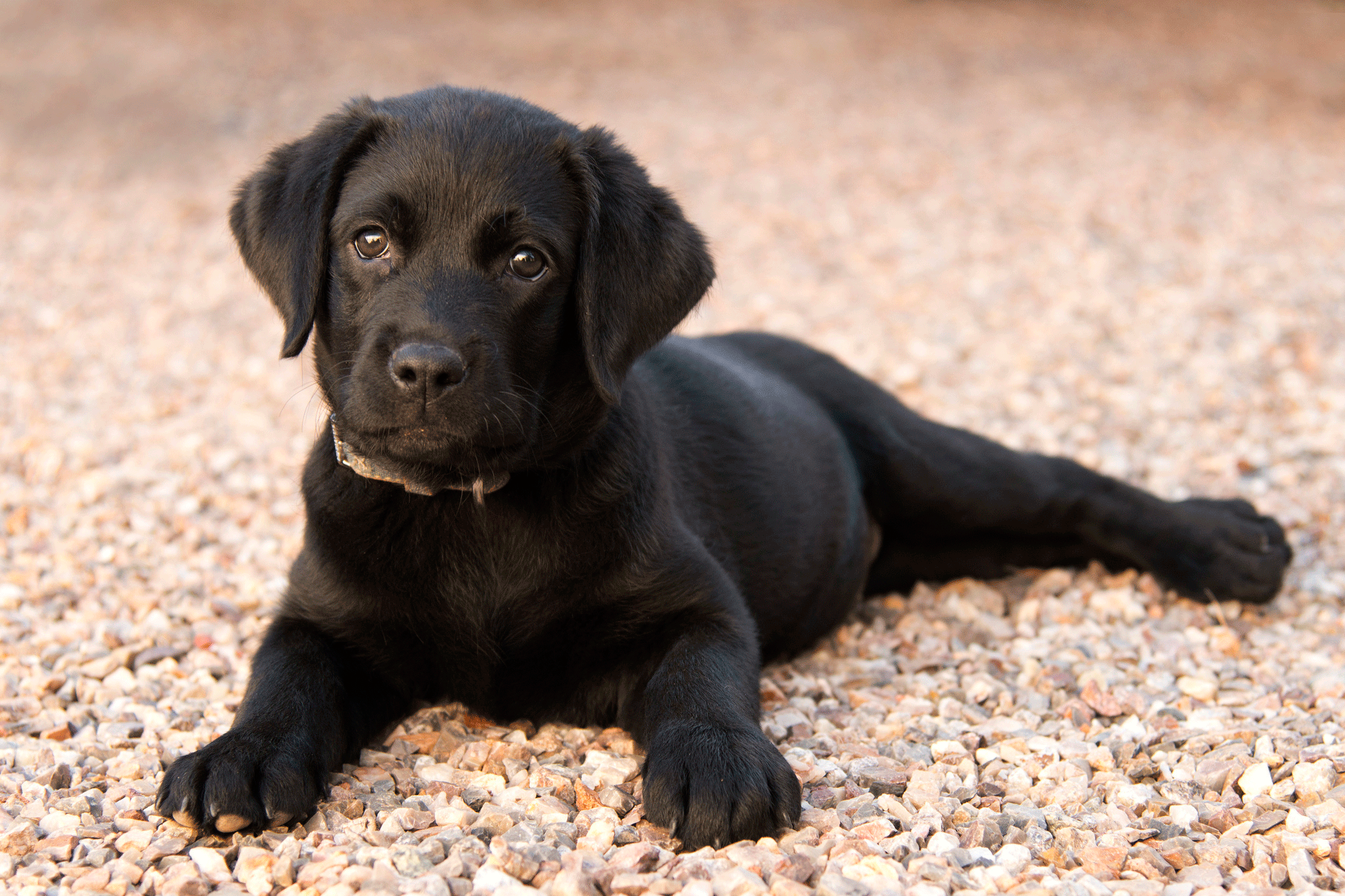 Buying a Labrador Puppy: Price and everything you need to know!