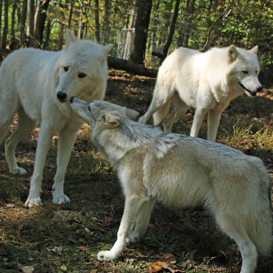 See Why These Wolves Eat Fresh Dog Food