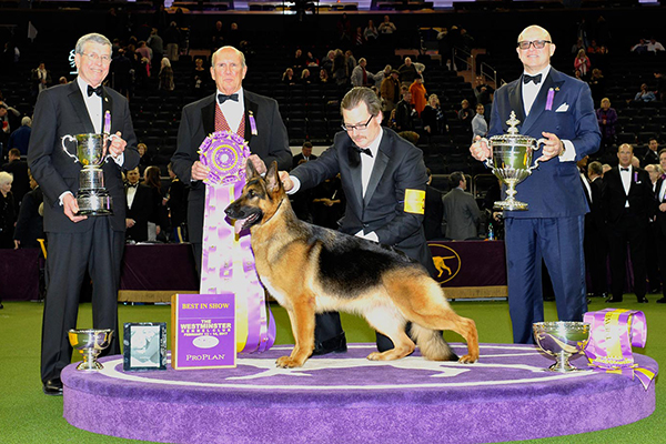 The Top 5 Show Dogs of 2017:  Who Will Win the Westminster Kennel Club Dog Show?