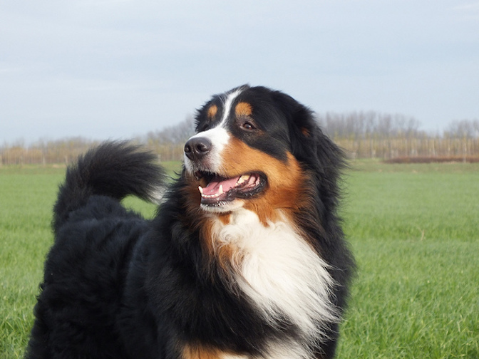 5 Facts Bernese Mountain Dog Lovers Know by Heart