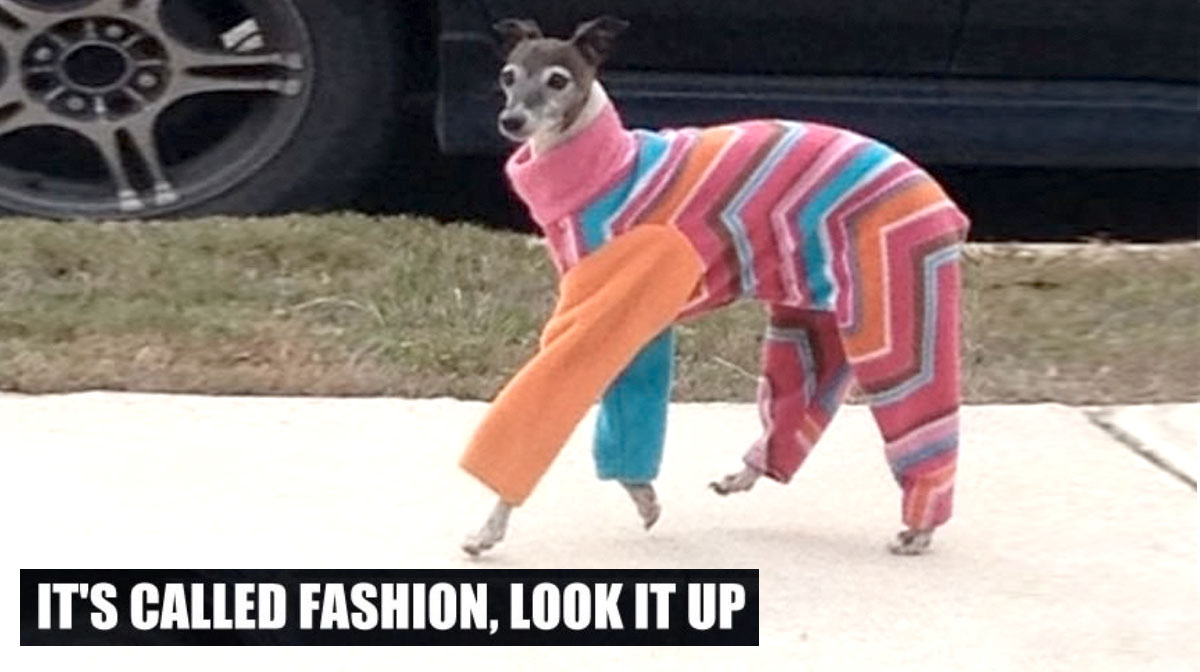 Greyhounds and Whippets Are the Fashion Models of Dog Society