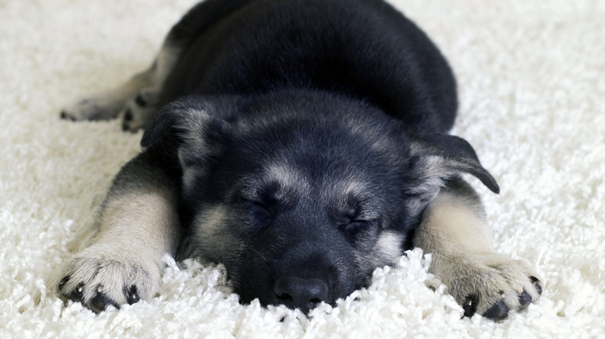 Teach Your Puppy to Sleep Through the Night