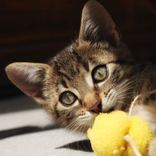 How Shelters are Using Scents and Toys to Help Cat Adoption
