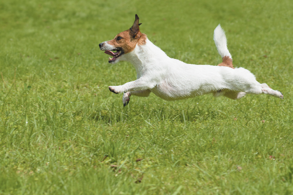 Facts About the Dynamic Russell Terrier Dog Breed