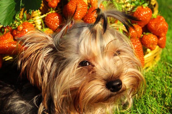 Can Dogs Eat Strawberries, Grapes And Apples?