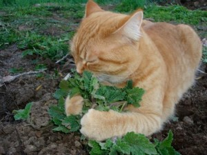 How safe is catnip for your cat.|Cat Health