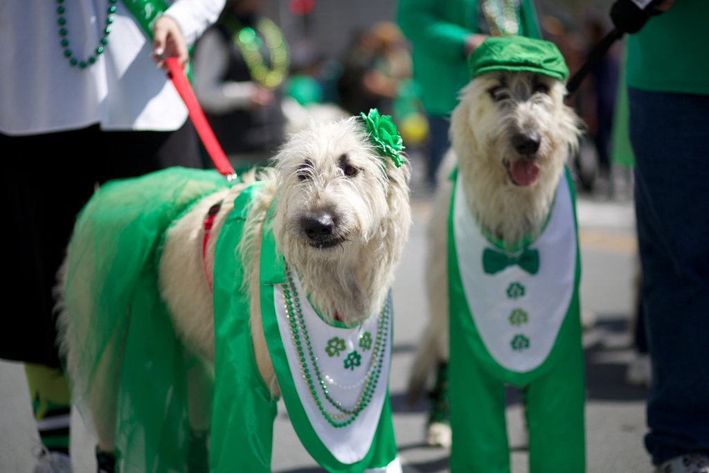 Meet the World's Only Irish Dog Breeds in Honor of St. Patrick's Day
