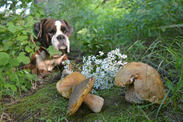 Can Dogs Eat Mushrooms? What to Know About Dogs and Mushrooms