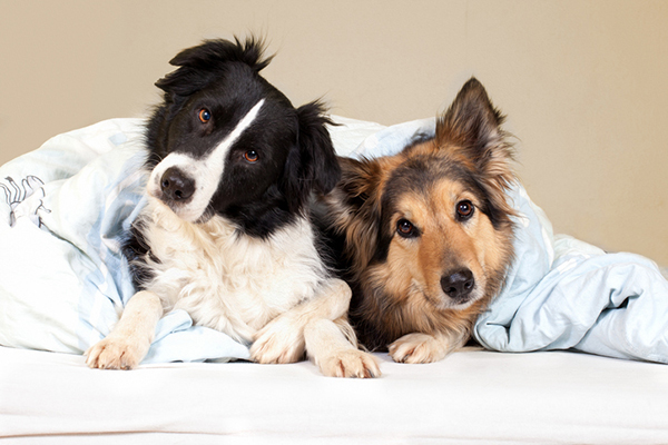 Why Is Your Dog Peeing on the Bed? Taking a Look at Hormone-Responsive Urinary Incontinence