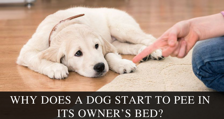 Why Does A Dog Start To Pee In Its Owner's Bed?