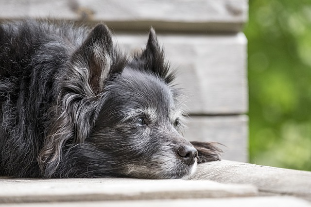 7 Common Health Issues in Older Dogs