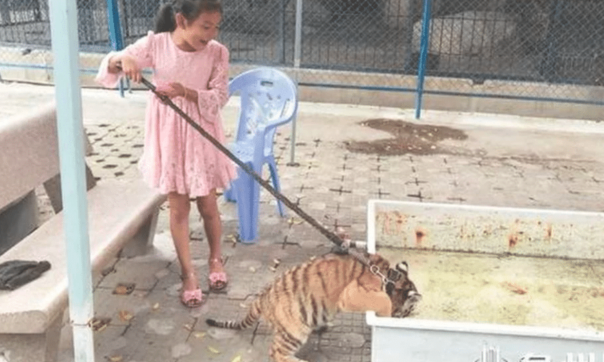 This Girl Has a Tiger Baby as a Pet: Intolerable!
