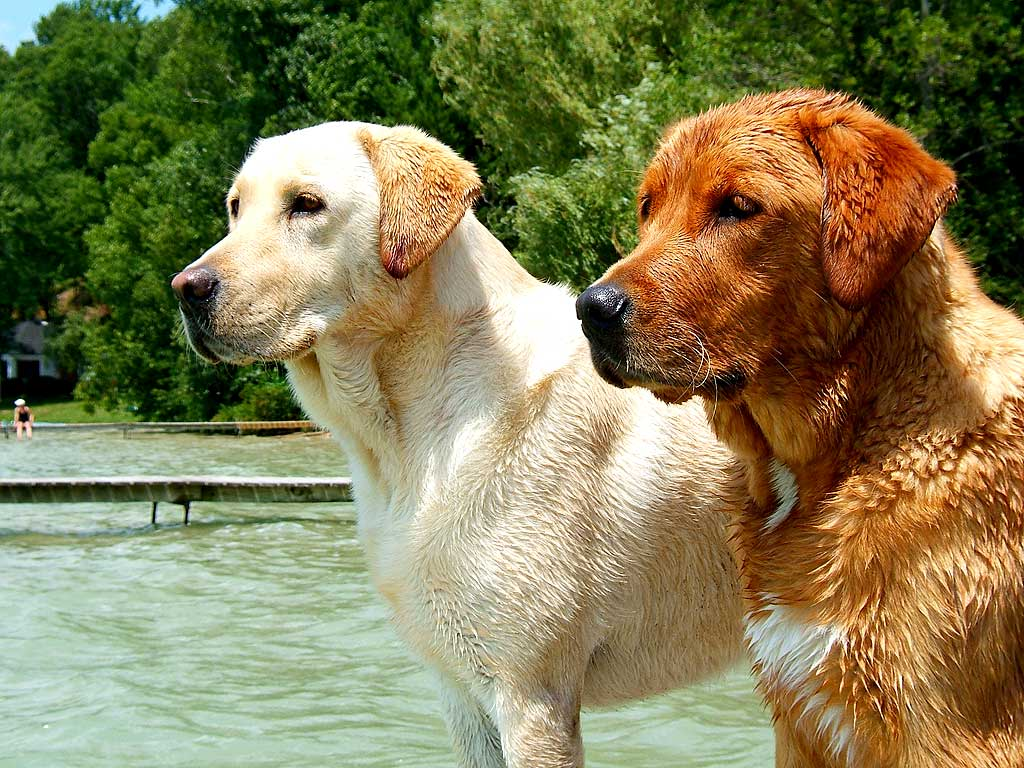 How much can a Labrador Retriever live?
