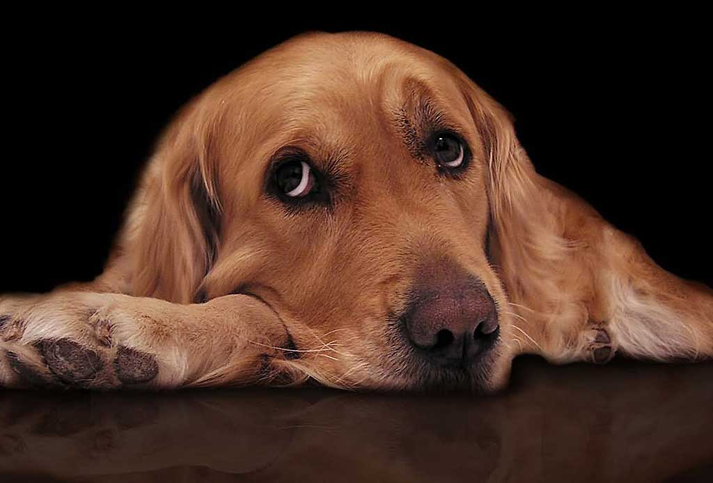 Anxiety due to separation in dogs, fear, frustration and indulgent owners ...