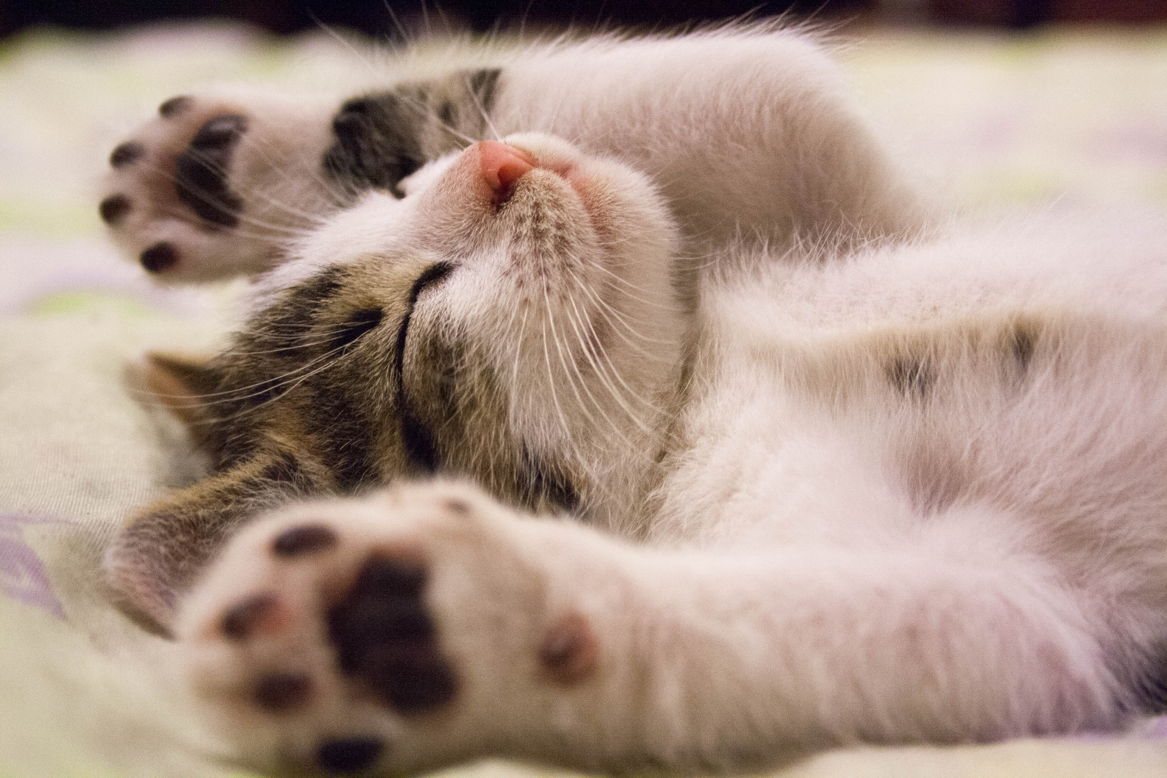 What Does it Mean to Dream About Cats?
