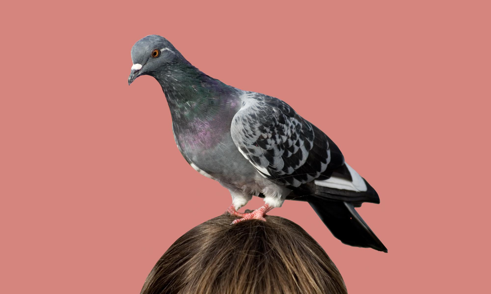featured_art_pigeon