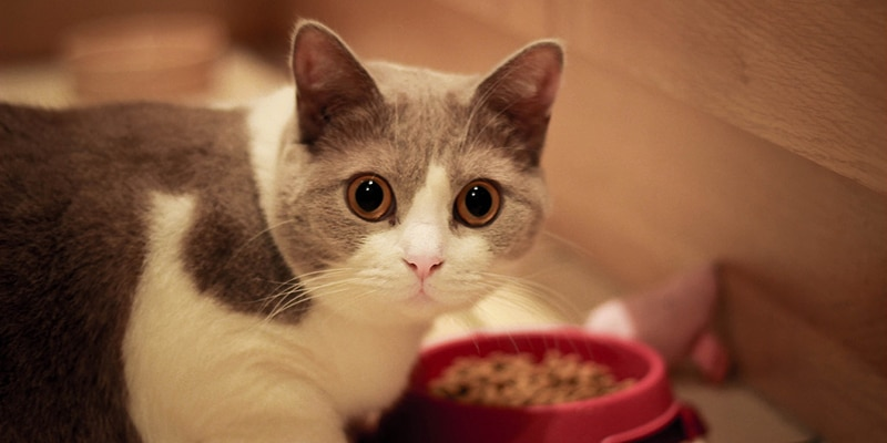 Are cats carnivores or omnivores?