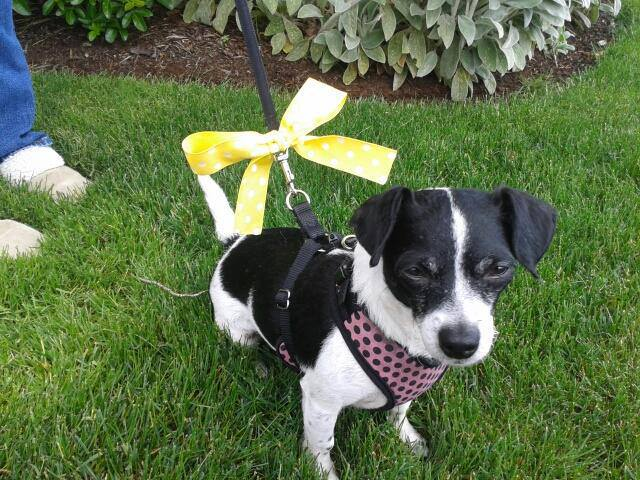 Why do dogs wear a yellow ribbon on their collar?