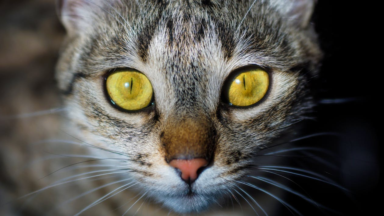 Diseases in the eyes of cats: symptoms and treatment