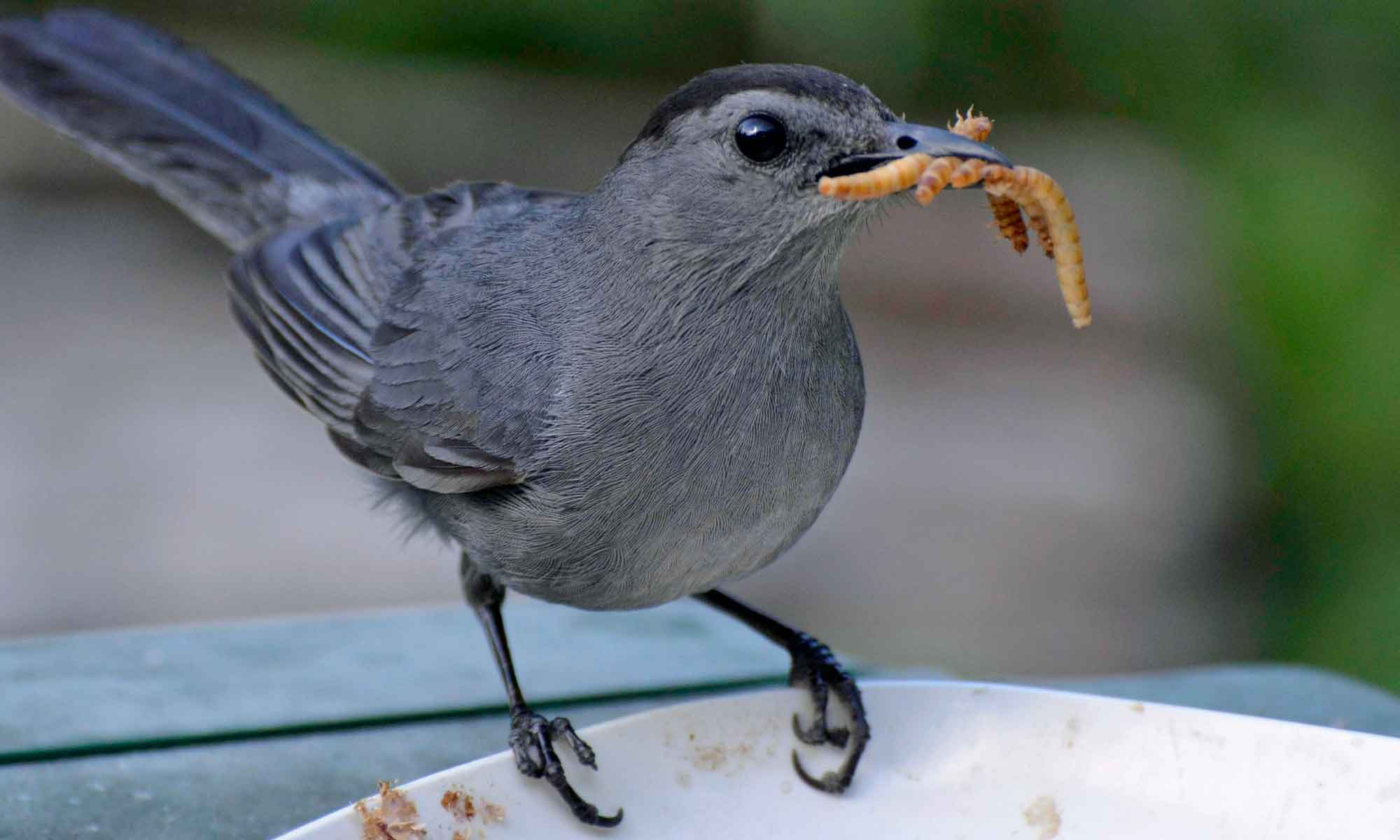 Obtain Mealworms For Your Garden Birds