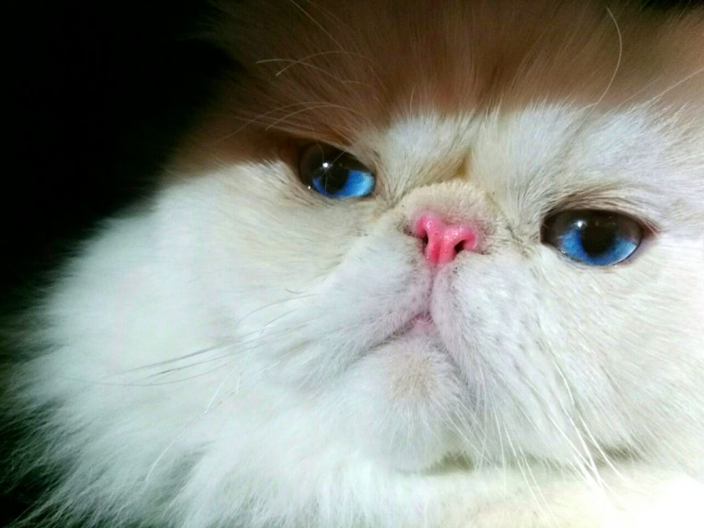 The Grooming of the Persian Cat