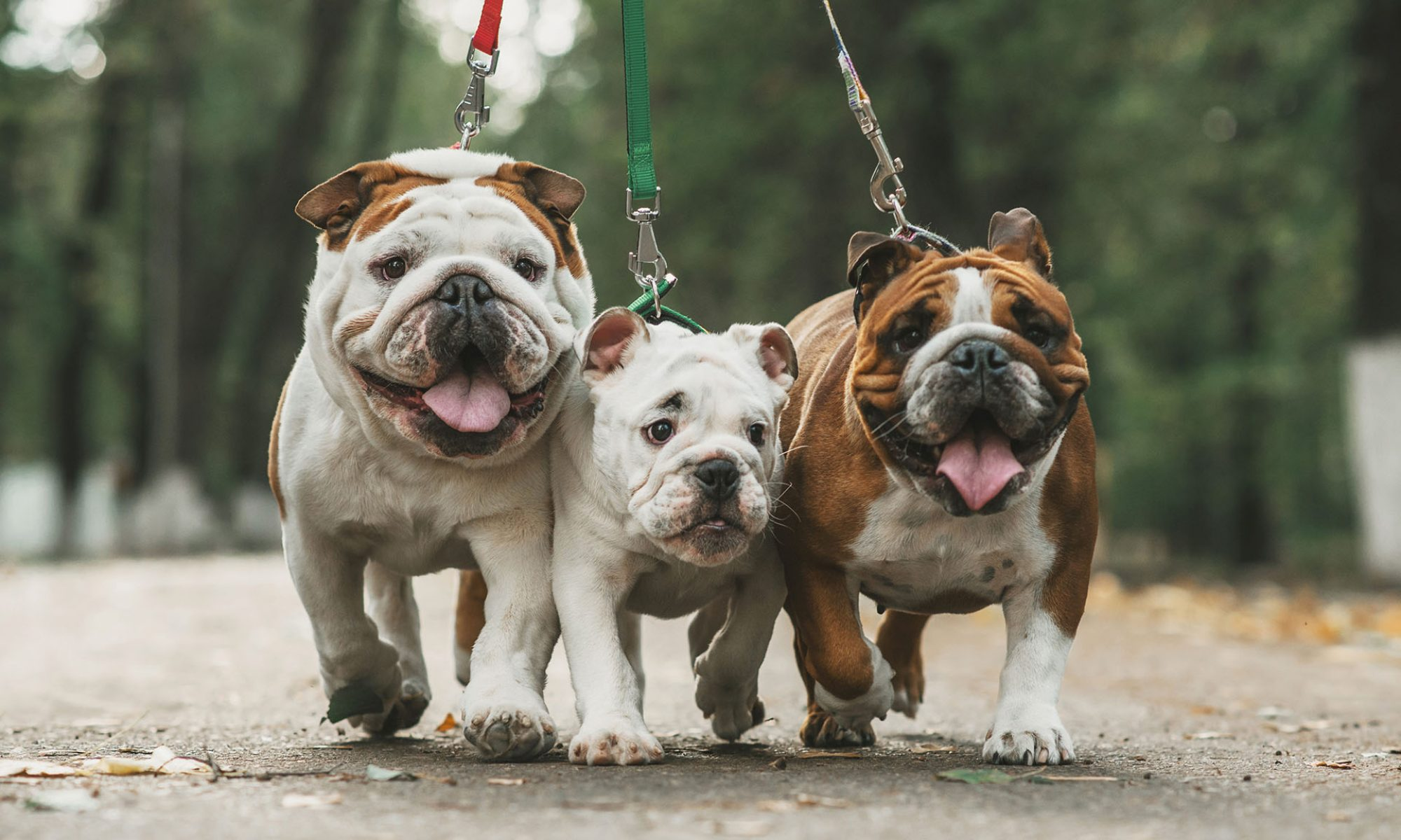 Temperament of French Bulldogs: The Good and the Bad Sides