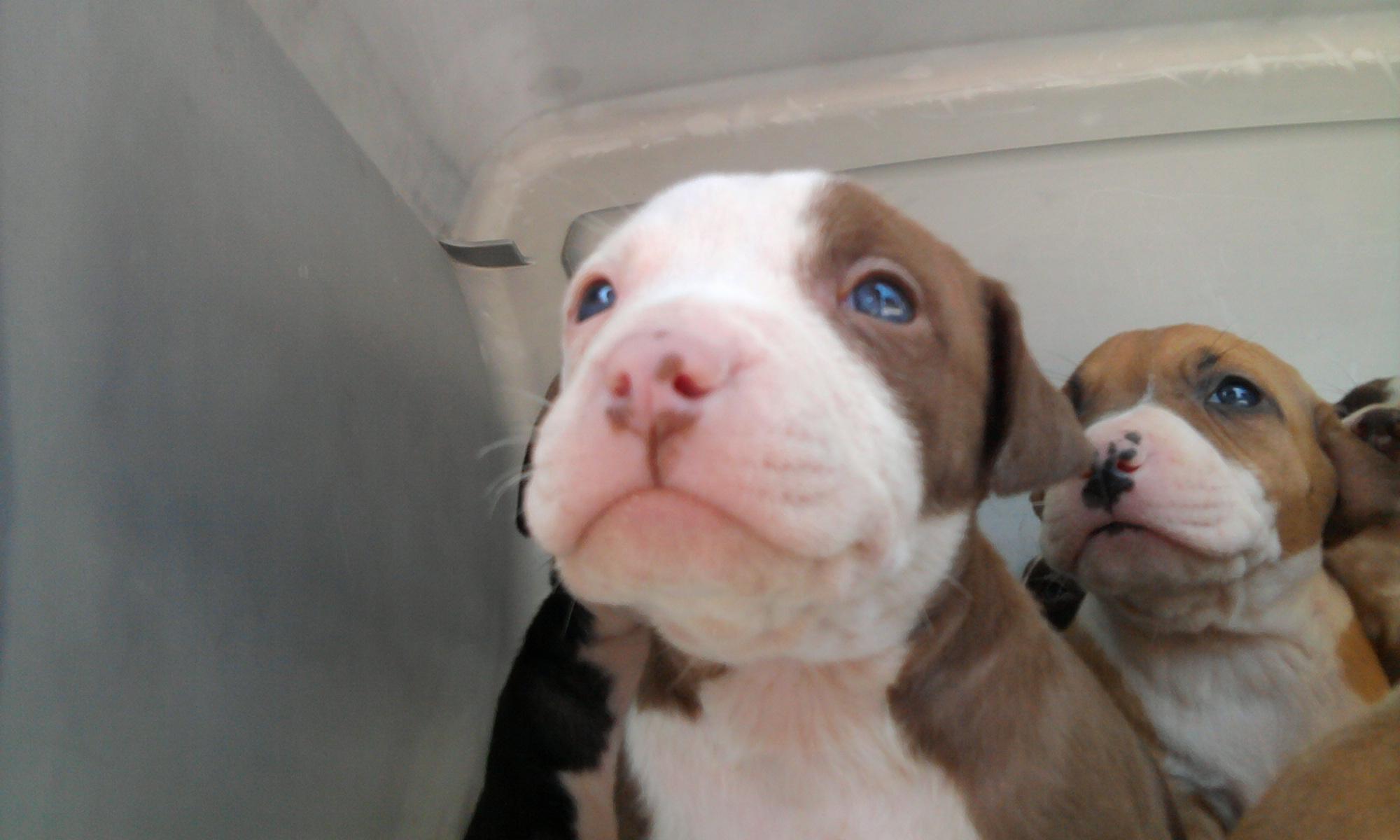 Temperament of Pitbull Dogs