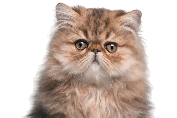 Tips For Buying a Persian Cat