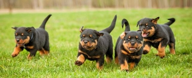 Physical Properties of the Rottweiler Dog