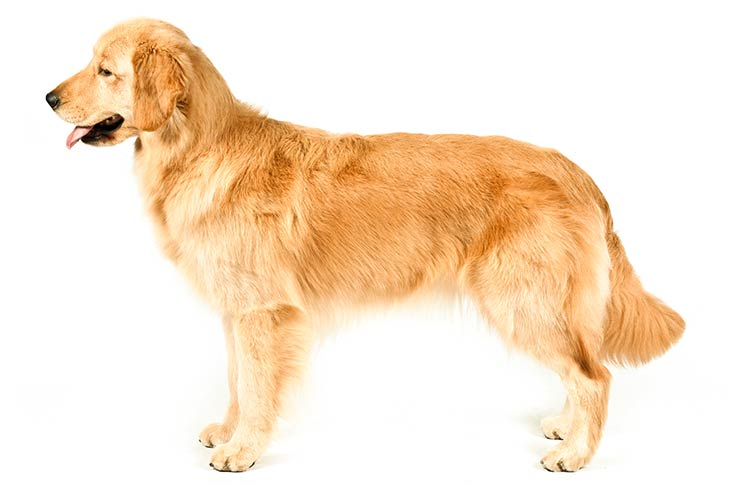 Tips for Training a Golden Retriever