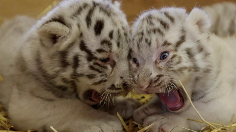 How to Care And Buy White Tiger Cubs