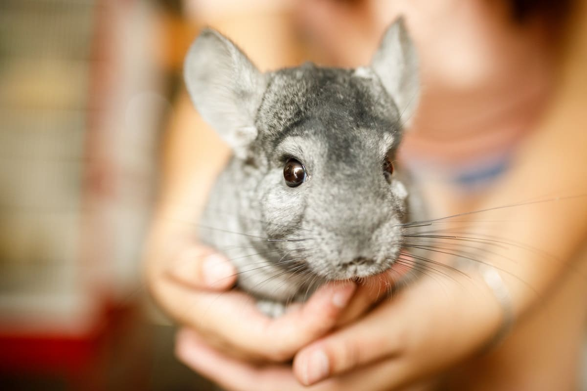 Chinchillas, What They Eat?